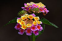 /images/133/2007-10-06-tucson-flow-5283.jpg - #04708: Lantana Camara flowers in Tucson, Arizona … Oct 2007 -- Tucson, Arizona