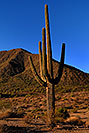 /images/133/2007-10-08-sag-cactus-6149v.jpg - #04733: Saguaro Cactus near Saguaro Lake … Dec 2007 -- Saguaro Lake, Arizona