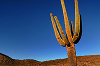 /images/133/2007-10-08-sag-cactus-6184.jpg - #04737: Saguaro Cactus near Saguaro Lake … Dec 2007 -- Saguaro Lake, Arizona