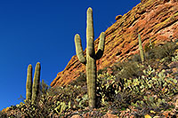 /images/133/2008-02-09-supers-9611.jpg - #04763: Saguaro cactus in Superstition Mountains … Feb 2008 -- Tortilla Flat Trail, Superstitions, Arizona