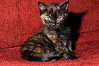 /images/133/2008-02-18-kittens-0787.jpg - #04797: Saraphina - Hanna`s Kitten #2 … Feb 2008 -- Tempe, Arizona