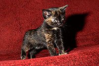 /images/133/2008-02-18-kittens-0840.jpg - #04798: Saraphina - Hanna`s Kitten #2 … Feb 2008 -- Tempe, Arizona