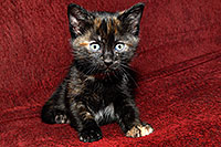 /images/133/2008-02-26-kittens-1389.jpg - #04805: Saraphina - Hanna`s Kitten #2 … Feb 2008 -- Tempe, Arizona