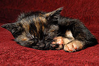 /images/133/2008-02-26-kittens-1500.jpg - #04808: Saraphina sleeping - Hanna`s Kitten #2 … Feb 2008 -- Tempe, Arizona