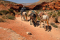 /images/133/2008-04-06-hav-mules-1343.jpg - #05122: Mules along Havasupai Trail heading to Supai … April 2008 -- Havasupai Trail, Havasu Falls, Arizona