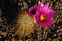 /images/133/2008-04-11-sup-hedge-1939.jpg - #05144: Big purple flower of a small Hedgehog Cactus in Superstitions … April 2008 -- Superstitions, Arizona