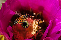 /images/133/2008-04-12-sag-bee-2108.jpg - #05153: Honey Bee on a purple flower of Hedgehog Cactus in Saguaro National Park … April 2008 -- Saguaro National Park, Arizona