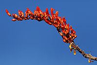 /images/133/2008-04-12-sag-ocoti-2048.jpg - #05151: Orange-red Ocotillo flower in Saguaro National Park … April 2008 -- Saguaro National Park, Arizona