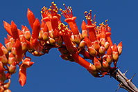 /images/133/2008-04-12-sag-ocoti-2060.jpg - #05152: Orange-red Ocotillo flower in Saguaro National Park … April 2008 -- Saguaro National Park, Arizona
