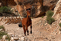 /images/133/2008-04-22-hav-horse-4902.jpg - #05239: Havasupai horses along the trail … April 2008 -- Havasupai Trail, Havasu Falls, Arizona
