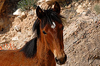 /images/133/2008-04-22-hav-horse-4912.jpg - #05240: Havasupai horses along the trail … April 2008 -- Havasupai Trail, Havasu Falls, Arizona