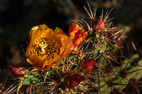 /images/133/2008-04-26-sup-cholla-5117.jpg - #05261: Orange flower of Cholla cactus in Superstitions … April 2008 -- Superstitions, Arizona