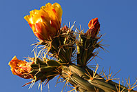 /images/133/2008-04-26-sup-cholla-5181.jpg - #05262: Orange flower of Cholla cactus in Superstitions … April 2008 -- Superstitions, Arizona