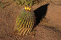 /images/133/2008-05-03-supers-bar-5896.jpg - #05285: Fishook Barrel Cactus in Superstitions … May 2008 -- Lost Dutchman State Park, Superstitions, Arizona