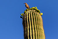 /images/133/2008-05-04-supers-bird-6427.jpg - #05301: Bird on top of Saguaro Cactus in Superstitions … May 2008 -- Lost Dutchman State Park, Superstitions, Arizona