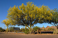/images/133/2008-05-04-supers-palo-6355.jpg - 05307: Palo Verde tree in Superstitions … May 2008 -- Lost Dutchman State Park, Superstitions, Arizona