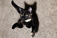 /images/133/2008-05-05-tempe-cats-6867.jpg - #05308: Saraphina (3 months old) jumping … May 2008 -- Tempe, Arizona
