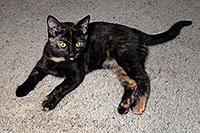/images/133/2008-05-05-tempe-cats-7018.jpg - #05310: Saraphina (3 months old) … May 2008 -- Tempe, Arizona