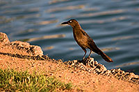 /images/133/2008-06-14-gilb-bird-1716.jpg - #05486: Great-tailed Grackle at Freestone Park … June 2008 -- Freestone Park, Gilbert, Arizona