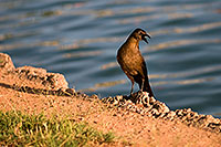 /images/133/2008-06-14-gilb-bird-1731.jpg - #05487: Great-tailed Grackle at Freestone Park … June 2008 -- Freestone Park, Gilbert, Arizona