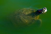 /images/133/2008-06-14-gilb-turtle-1764.jpg - 05494: Red-eared slider turtle appearing like a submarine from below the surface at the pond of Freestone Park … June 2008 -- Freestone Park, Gilbert, Arizona