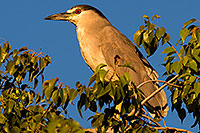 /images/133/2008-06-20-gilb-heron-8598.jpg - #05524: Black Crowned Night Heron in a tree at Freestone Park … June 2008 -- Freestone Park, Gilbert, Arizona