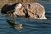/images/133/2008-06-20-gilb-heron-9210.jpg - #05530: Black Crowned Night Heron at Freestone Park … June 2008 -- Freestone Park, Gilbert, Arizona