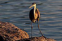 /images/133/2008-06-21-gilb-blue-10275.jpg - #05533: Great Blue Heron on a rock at Freestone Park … June 2008 -- Freestone Park, Gilbert, Arizona
