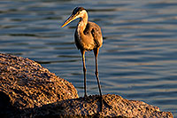 /images/133/2008-06-21-gilb-blue-10284.jpg - #05534: Great Blue Heron on a rock at Freestone Park … June 2008 -- Freestone Park, Gilbert, Arizona