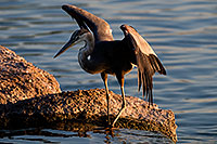 /images/133/2008-06-21-gilb-blue-10295.jpg - #05535: Great Blue Heron spreading his wings on a rock at Freestone Park … June 2008 -- Freestone Park, Gilbert, Arizona