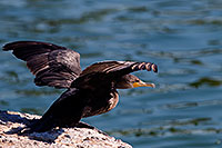 /images/133/2008-06-21-gilb-cor-10876.jpg - #05541: Cormorant about to takeoff from a rock at Freestone Park … June 2008 -- Freestone Park, Gilbert, Arizona