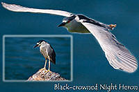 /images/133/2008-06-23-gilb-heron-pro.jpg - #05552: Black Crowned Night Heron at Freestone Park … June 2008 -- Freestone Park, Gilbert, Arizona