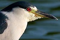 /images/133/2008-06-25-free-heron-13165.jpg - #05557: Black Crowned Night Heron at Freestone Park … June 2008 -- Freestone Park, Gilbert, Arizona