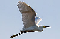 /images/133/2008-06-30-rip-egrets-16273.jpg - #05582: Snowy Egret in flight at Riparian Preserve … June 2008 -- Riparian Preserve, Gilbert, Arizona