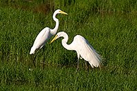 /images/133/2008-06-30-rip-egrets-16661.jpg - #05579: Two Great Egrets at Riparian Preserve … June 2008 -- Riparian Preserve, Gilbert, Arizona