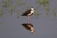 /images/133/2008-06-30-rip-stilt-16439.jpg - #05582: Black Necked Stilt (juvenile) at Riparian Preserve … June 2008 -- Riparian Preserve, Gilbert, Arizona