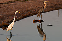 /images/133/2008-07-01-rip-egrets-17000.jpg - #05587: Great Egret [left] and Great Blue Heron [right] at Riparian Preserve … June 2008 -- Riparian Preserve, Gilbert, Arizona
