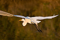 /images/133/2008-07-01-rip-egrets-17018.jpg - #05593: Great Egret in flight at Riparian Preserve … June 2008 -- Riparian Preserve, Gilbert, Arizona