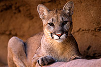 /images/133/2008-07-27-zoo-puma-1d3_0804.jpg - Animals > Mountain Lions
