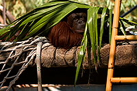 /images/133/2008-08-01-zoo-orangutan-19862.jpg - #05680: Orangutan under palm leaf at the Phoenix Zoo … August 2008 -- Phoenix Zoo, Phoenix, Arizona