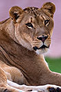 /images/133/2008-08-08-zoo-lioness-40d_12245v.jpg - #05701: Lioness at the Phoenix Zoo … August 2008 -- Phoenix Zoo, Phoenix, Arizona