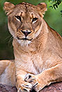 /images/133/2008-08-08-zoo-lioness-40d_12263v.jpg - #05702: Lioness at the Phoenix Zoo … August 2008 -- Phoenix Zoo, Phoenix, Arizona