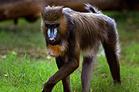 /images/133/2008-08-10-zoo-mandrill-40d_13847.jpg - #05756: Mandrill [female] at the Phoenix Zoo … August 2008 -- Phoenix Zoo, Phoenix, Arizona