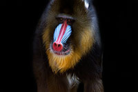 /images/133/2008-08-10-zoo-mandrill-40d_13855m.jpg - #05758: Mandrill [male] at the Phoenix Zoo … August 2008 -- Phoenix Zoo, Phoenix, Arizona