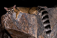 /images/133/2008-09-18-squaw-ringtail-28073.jpg - 05884: Ringtail at Squaw Peak … September 2008 -- Squaw Peak, Phoenix, Arizona