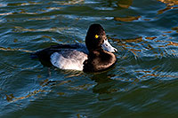 /images/133/2008-11-21-fountain-ducks-51101.jpg - 06138: Lesser Scaup (a Diving Duck) [male] at Fountain Hills lake … November 2008 -- Fountain Hills, Arizona