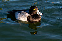/images/133/2008-11-21-fountain-ducks-51156.jpg - #06135: Lesser Scaup (a Diving Duck) [male] at Fountain Hills lake … November 2008 -- Fountain Hills, Arizona
