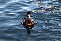 /images/133/2008-11-21-fountain-ducks-51197.jpg - #06139: Lesser Scaup (a Diving Duck) [male] at Fountain Hills lake … November 2008 -- Fountain Hills, Arizona
