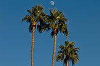/images/133/2008-12-09-tempe-kiwanis-palms-60907.jpg - #06385: Palm Trees at Kiwanis Park … December 2008 -- Kiwanis Park, Tempe, Arizona