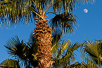 /images/133/2008-12-09-tempe-kiwanis-palms-60913.jpg - #06386: Palm Trees at Kiwanis Park … December 2008 -- Kiwanis Park, Tempe, Arizona